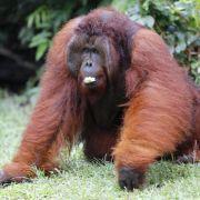Orang-Utans sind bodenständiger als bislang angenommen (Foto)