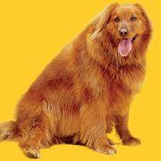 Dieser Golden Retriever hat zehn Kilo zu viel auf den Rippen.