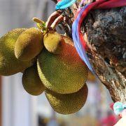Jackfrüchte mit eingeöltem Messer zerteilen (Foto)