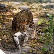 Leopard streunt durch indische Millionenstadt (Foto)