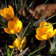 Es blüht schon - Pflanzen nachts noch vor Frost schützen (Foto)