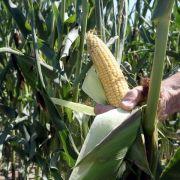 EU-Umweltminister öffnen Tür zu neuen Anbauregeln für Genpflanzen (Foto)