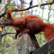 Eichhörnchen nisten gerne in Balkonkästen (Foto)