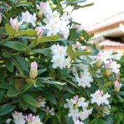 Rhododendron liebt sauren Boden (Foto)