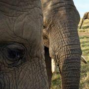 Elefanten hören Geschlecht und Alter in menschlichen Stimmen (Foto)