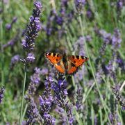 Lavendel im März setzen (Foto)