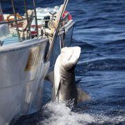 Hai-Tötung vor Westaustralien geht trotz Protesten weiter (Foto)