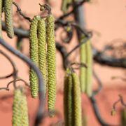 Bei Beschwerden sofort Medikament - Tipps für Pollenallergiker (Foto)