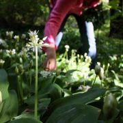 Bärlauchblätter nicht mit Maiglöckchen verwechseln (Foto)