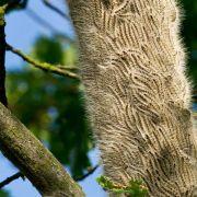 Eichenprozessionsspinner: Schutzkleidung für Forstarbeiter (Foto)
