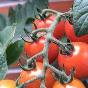 Gemüse für den Balkon schon im Frühjahr drinnen ziehen (Foto)