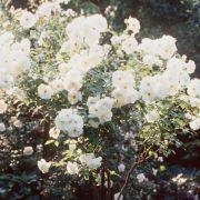 Triebe von Rosen mit Hochstämmchen auf 30 Zentimeter kürzen (Foto)