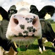 Kuh rülpst bei Maisfutter weniger Methan (Foto)