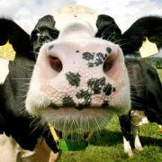Kuh rülpst bei Maisfutter etwas weniger Methan (Foto)