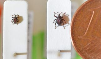 Auf Spuren der Evolution: Forscher entdeckt neue Käferarten (Foto)