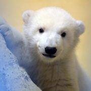 Tag der knuddeligen Eisbären (Foto)