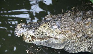 Amsterdamer Krokodil erliegt dem SM-Liebesspiel. (Foto)