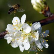 Biene verursacht Defekt am Flugzeug: Kein Geld für Passagiere (Foto)
