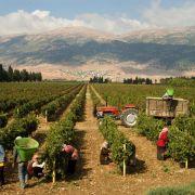 Das Frankreich des Nahen Ostens: Libanon hat lange Weinbautradition (Foto)