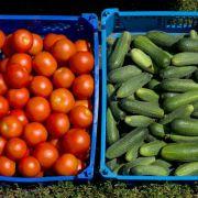 Gurken und Tomaten im Gewächshaus nicht nebeneinander setzen (Foto)