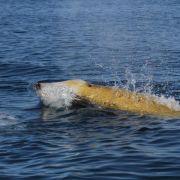 Rekord: Wal taucht drei Kilometer tief und zwei Stunden lang (Foto)