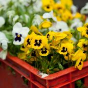 Schneiden, säen, düngen - Im April ist viel los im Garten (Foto)
