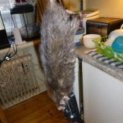 Monster-Ratte in schwedischer Küche erlegt (Foto)