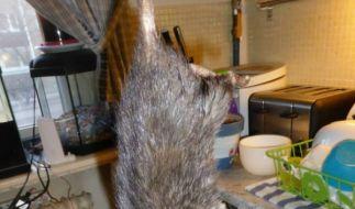 Diese Monsterratte, die Familie Bengtsson-Korsås in ihrer Küche fing, war fast 40 Zentimeter lanf. (Foto)