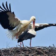 Störche fliegen fast im Stundentakt ein (Foto)