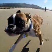 Zweibeiniger Hund flitzt am Strand entlang (Foto)
