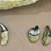 Zähne und Knochen von Säbelzahnkatze aus der Eiszeit entdeckt (Foto)