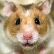 Hamster brauchen keine Lecksteine (Foto)
