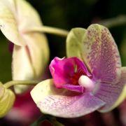 Zweige der Phalaenopsis-Orchidee über zweitem Auge abschneiden (Foto)