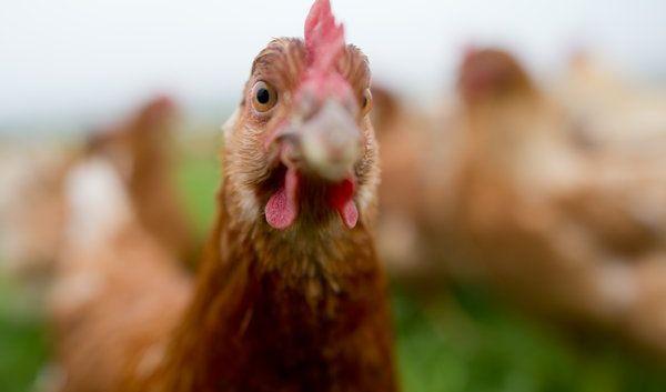 Glucosamin aus Hühnerknochenmark findet vor allem in Feuchtigkeitscremes Anwendung. (Foto)