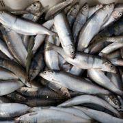 Aus Fischschuppen wird «Glimmer» produziert, der vor allem in Nagellack, Lidschatten und Make-up zum Einsatz kommt.