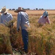 Forscher suchen Super-Weizen in Mexiko (Foto)