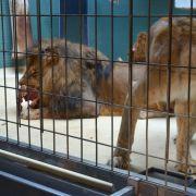 Die Löwen Aru und Aketi sind Geschwister. Sie bekamen im Berliner Zoo neun Kinder - alle tot.