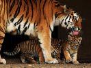 Inzucht im Zoo und bei Wildtieren