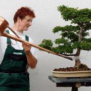 Kleine Bäumchen mit hohen Ansprüchen - Der Bonsai (Foto)