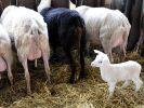 Als Feta oder in Scheiben - Schafskäsesaison im Norden (Foto)