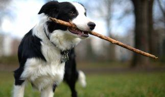 Ein Hund spielt unbekümmert im Park: Dieses Bild könnte bald der Vergangenheit angehören. (Foto)