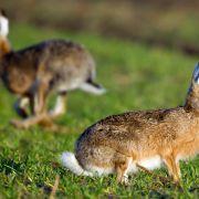 Krank, überfahren, gefressen - Hasen haben's schwer (Foto)