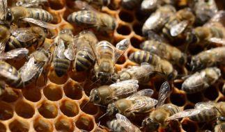 Ein Bienenstich tut weh, das ist allen klar. Ein amerikanischer Student wollte heraus finden, wo es am meisten schmerzt. dafür ließ er sich sogar in den Penis stechen. (Foto)