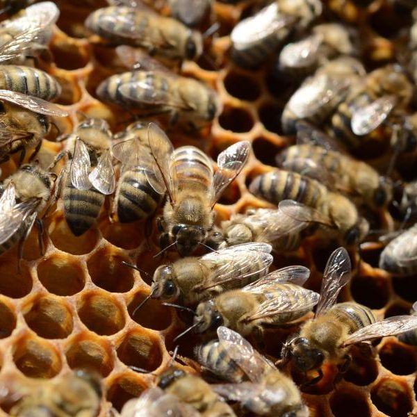 Autsch! Biene sticht Student in Stachel (Foto)