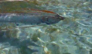 Aufnahmen eines lebenden Riemenfisches sind äußerst selten. (Foto)