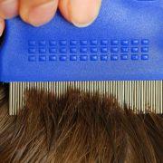 Nach Anwendung von Läusemittel Haare nass auskämmen (Foto)