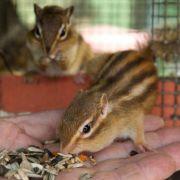 Streifenhörnchen brauchen viel Platz (Foto)