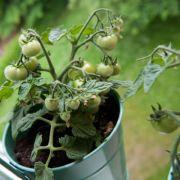 Sie wollen mehr - Gemüse im Kübel richtig versorgen (Foto)