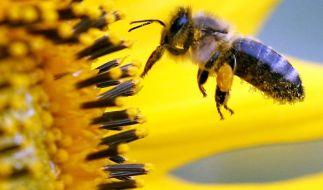 Blühende Balkone und Gärten: App zu bienenfreundlichen Pflanzen (Foto)