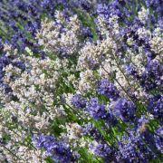 Nicht jeder Lavendel blüht violett (Foto)